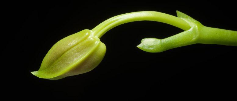 [Kepulauan Mentawai, Indonesia] Phalaenopsis mentawaiensis '#2' O.Gruss, Orchidee (Hamburg) 65: 238 (2014)